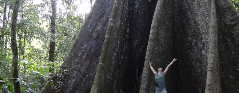 Un arbre gigantesque (parmi d'autres) : le fromager de Saül !