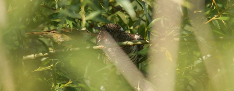 Nourrissage d'un Coucou gris par une Rousserole effarvate.