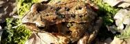 Grenouille rousse trouvée sur le terril des Pâturelles lors du chantier
