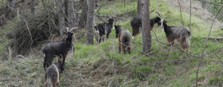 Les chèvres gloutonnes !