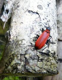 Le cardinal, insecte des sous-bois, observé dans un tas de bois aménagé par les Blongios